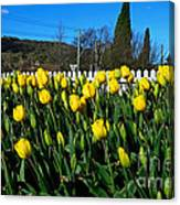 Yellow Tulips Before White Picket Fence Canvas Print