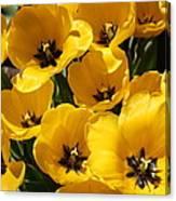 Golden Tulips In Full Bloom Canvas Print
