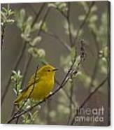 Yellow Warbler -1 Canvas Print