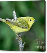 Yellow Warbler Dendroica Petechia Female Canvas Print