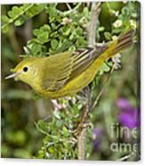 Yellow Warbler Hen Canvas Print