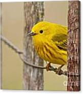 Yellow Warbler Pictures 90 Canvas Print