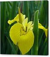 Yellow Water Iris Canvas Print