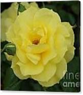 Yellow Wonder Rose...   # Canvas Print