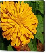 Yellow Zinnia Canvas Print