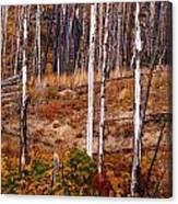 Yellowstone Aspens Canvas Print