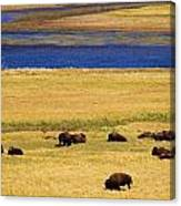 Yellowstone Bison Herd Canvas Print