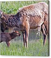 Yellowstone Elk Cow And Calf Canvas Print