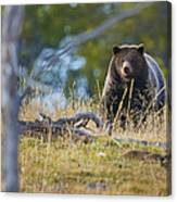 Yellowstone Grizzly Coming Over Hill Canvas Print