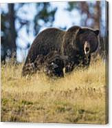 Yellowstone Grizzly Showing Teeth Canvas Print