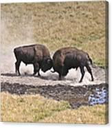 Yellowstone Turf War Canvas Print