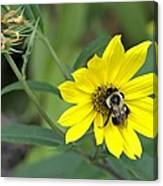 Yet Another Bee On A Flower ... A Yellow Flower This Time Canvas Print