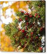 Taxus Baccata Or Yew Red Fruits On Twig  Canvas Print