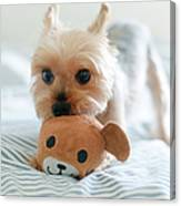 Yorkie Playing With Teddy Toy Canvas Print