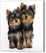 Yorkie Puppies Canvas Print