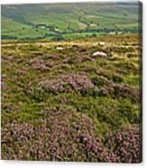 Yorkshire Moors Heather Canvas Print