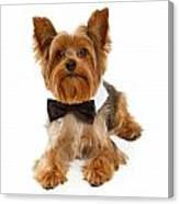 Yorkshire Terrier Dog With Black Tie Canvas Print