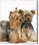Yorkshire Terrier Dogs Canvas Print