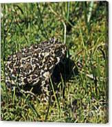 Yosemite Toad Bufo Canorus Canvas Print