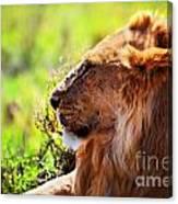 Young Adult Male Lion On Savanna. Safari In Serengeti Canvas Print