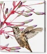 Young Allen's Hummingbird Canvas Print