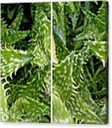 Young Aloe In Stereo Canvas Print
