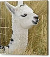 Young Alpaca Canvas Print