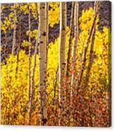 Young And Old Aspens Canvas Print