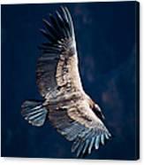 Young Andean Condor Canvas Print