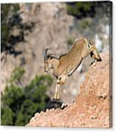 Young Auodad Sheep Descending The Canyon Canvas Print