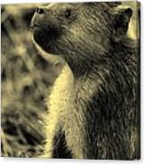 Young Baboon In Black And White Canvas Print