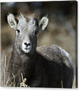 Young Bighorn Sheep Canvas Print