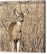 Young Black-tailed Deer Canvas Print
