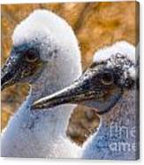 Young Blue Footed Booby Canvas Print