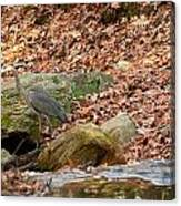 Young Blue Heron Canvas Print