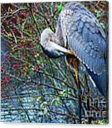 Young Blue Heron Preening Canvas Print
