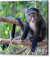 Young Blue Monkey Canvas Print