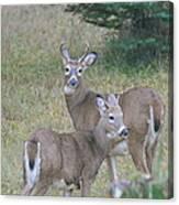 Young Bucks Canvas Print