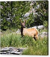 Young Bull Elk - Yellowstone National Park - Wyoming Canvas Print