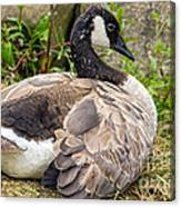Young Canada Goose Canvas Print