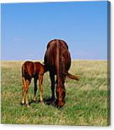 Young Colt And Mother Canvas Print