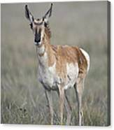 Young Doe Antelope Canvas Print