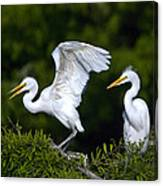 Young Egret Spreading His Wings Canvas Print