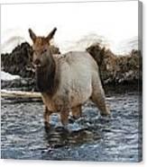 Young Elk Canvas Print
