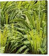 Young Fiddleheads Canvas Print