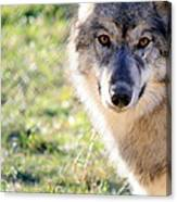 Young Gray Wolf In Light Canvas Print