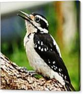 Young Hairy Woodpecker Canvas Print