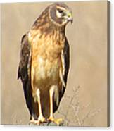 Young Harrier Canvas Print
