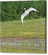 Young Heron In Flight Canvas Print