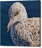 Young Herring Gull Canvas Print
